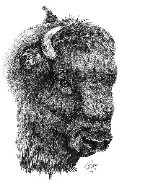 Bison Quot Bison Head Quot
